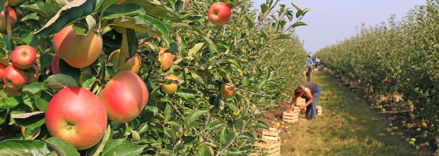 apple orchard apple picking fruit farm