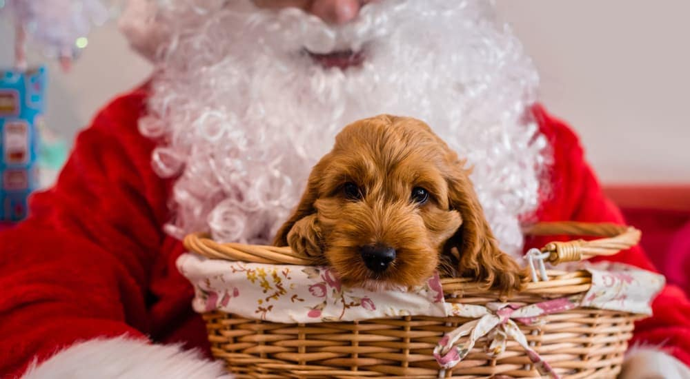 A spaniel dog is in a basket on Santa's lap.