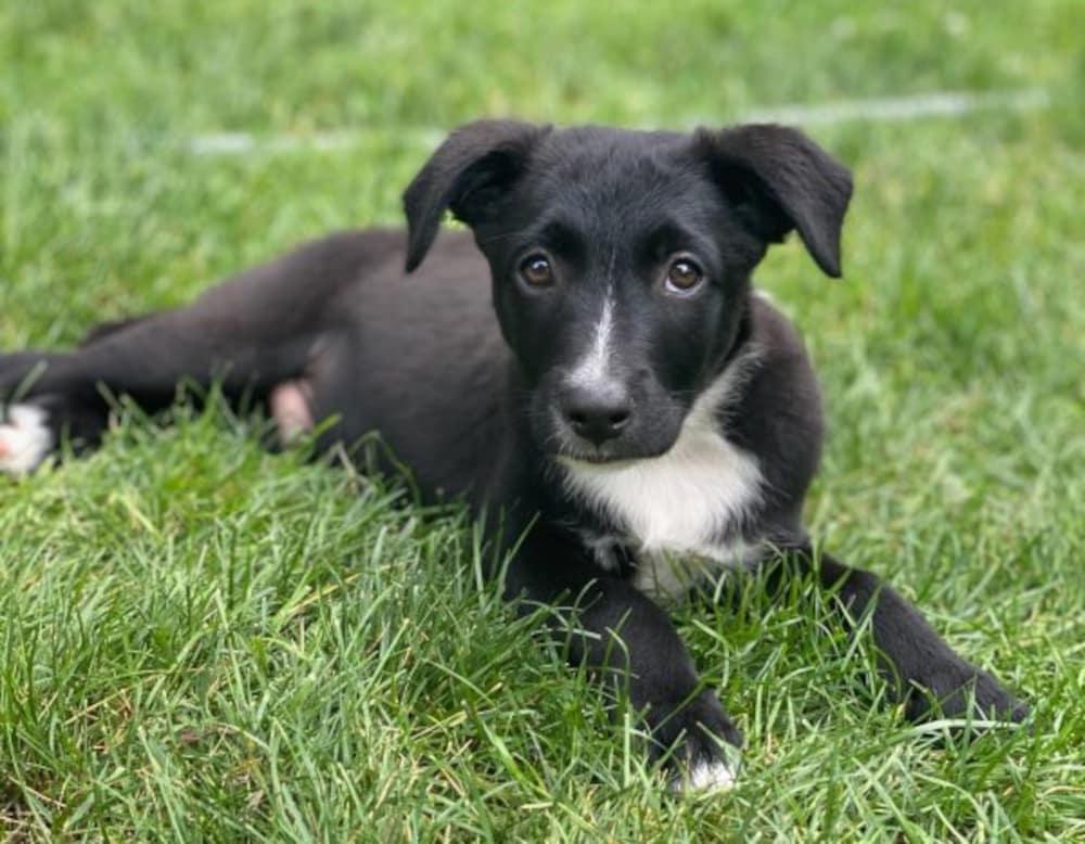 Cute Labador Puppy Up for Adoption